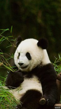 卡哇伊熊猫手机壁纸
