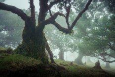 大西洋马德拉岛上的扇形林