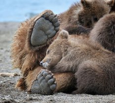 棕熊的世界