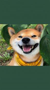 汪星人柴犬的可爱日常手机