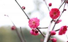 春节鲜艳的红梅桌面壁纸