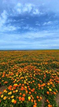 艳丽菊花海洋手机壁纸